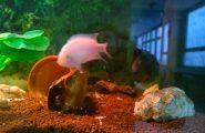 Šikovným žiakom z Chovateľsko – akvaristického krúžku sa podarilo vytvoriť vhodné podmienky v akváriu na to, aby párik rýb Cichlazoma […]